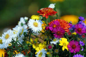 Asters, chrysanthemum and woodland sunflowers