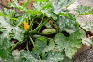 Ripe zucchini and flowers