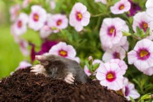 Mole in soil hole in front of flowers