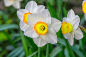 white daffodils against a background of green grass