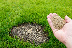 grass seeds bring sprinkled over bare patch in lawn