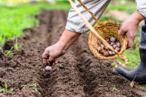Farmer planting garlic in the vegetable garden.