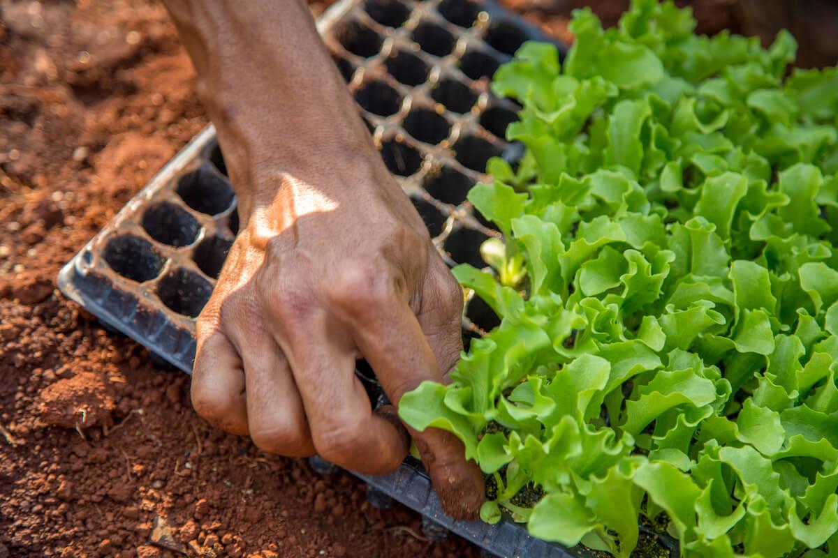 Hand planting lettuce seedlings