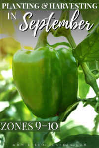 young ripe green bell pepper plant