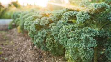 A front view photo of kale in the garden