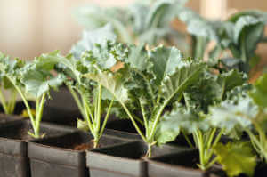 Fresh and Healthy Kale Plants in the Greenhouse