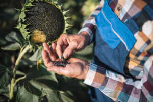 farmer examining growth quality of sunflower seeds.