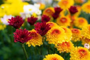 Chrysanthemums bloom in the autumn garden.