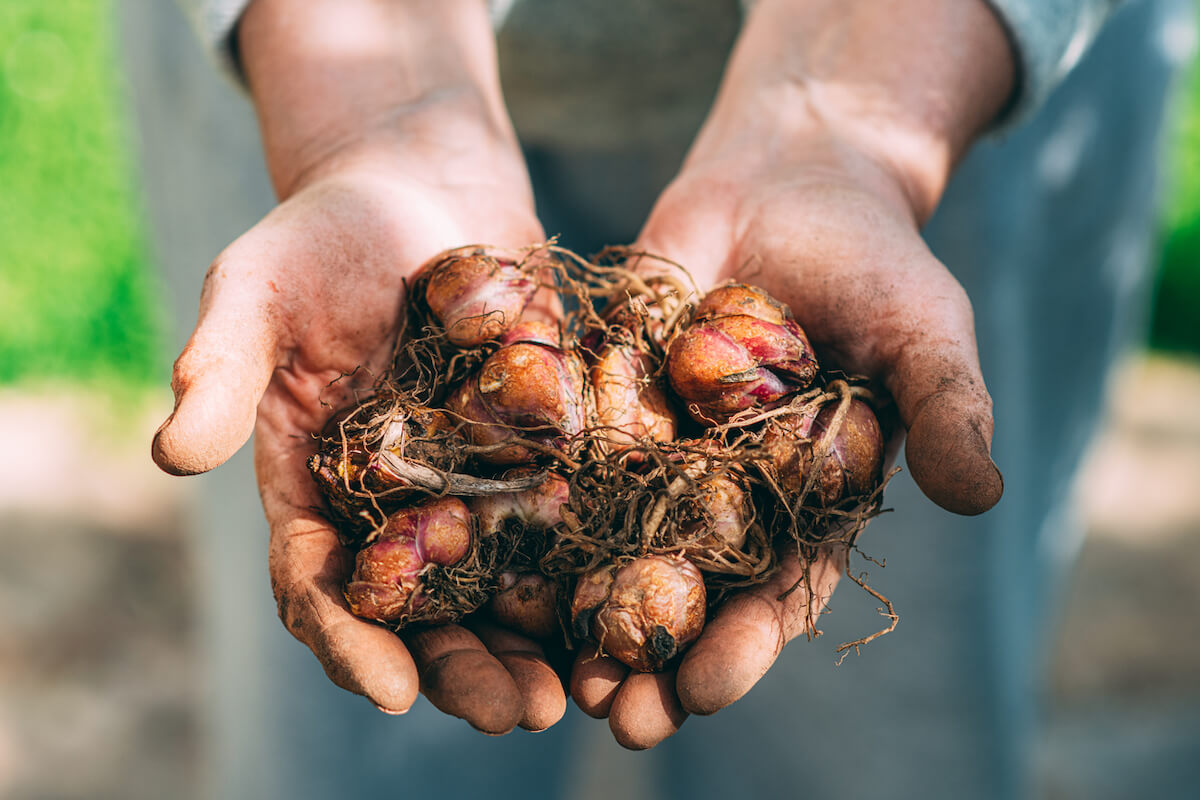 Woman Holding Lily Bulbs in Her Hands