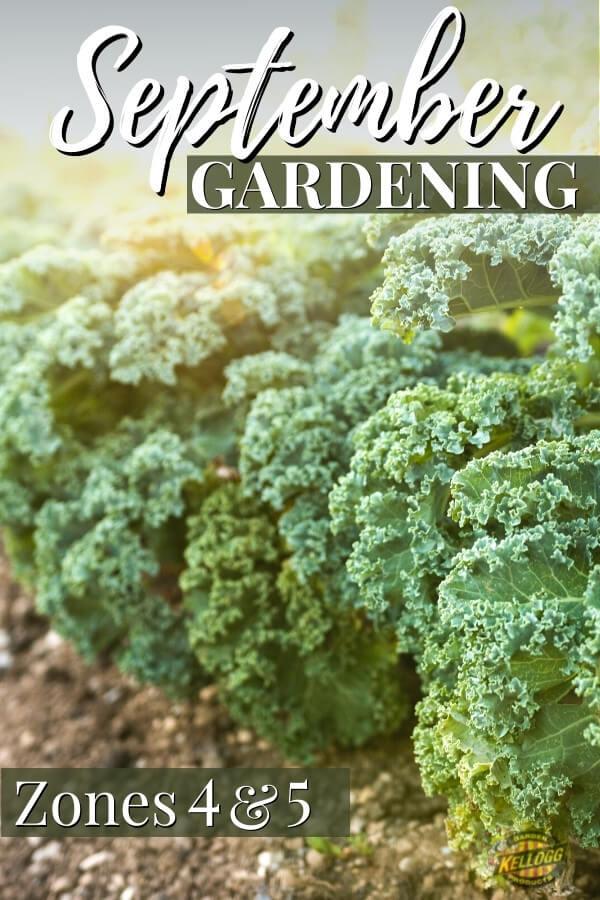kale plants growing in a garden