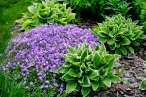 Phlox and Hostas flowers in the garden