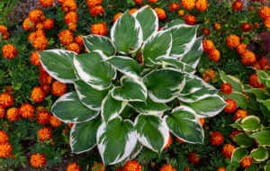 Hosta flower with white-green leaves surrounded by marigold