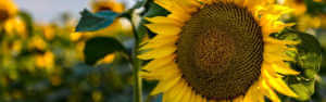 Close up photo of yellow sunflower in a sunflower field.