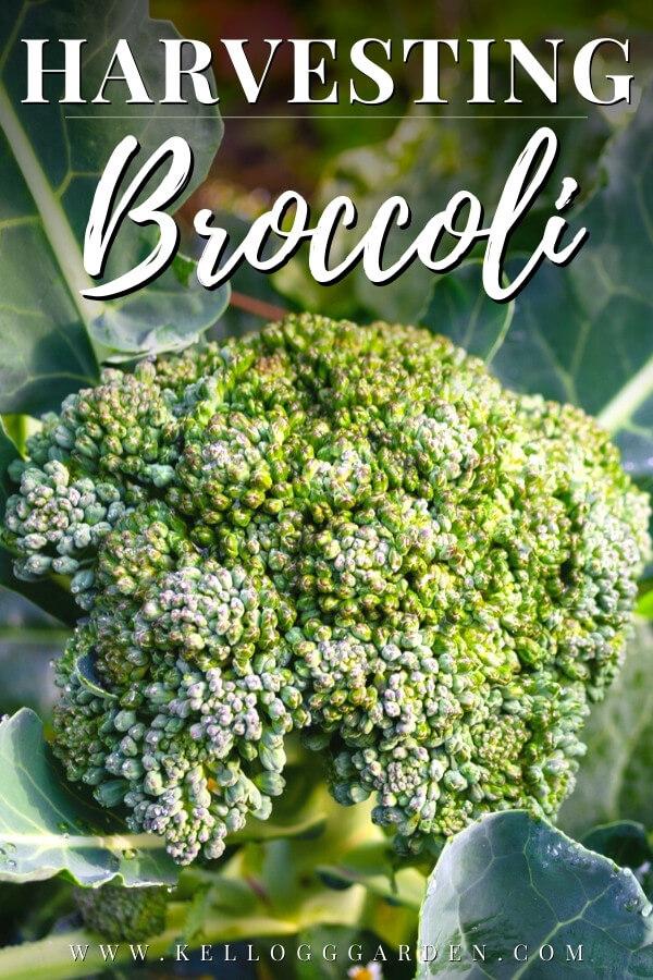 Head of broccoli growing in garden