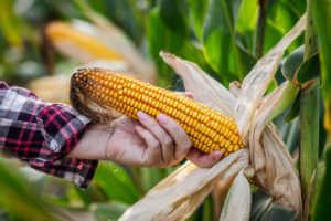 farmer pulling corn off of the stalk