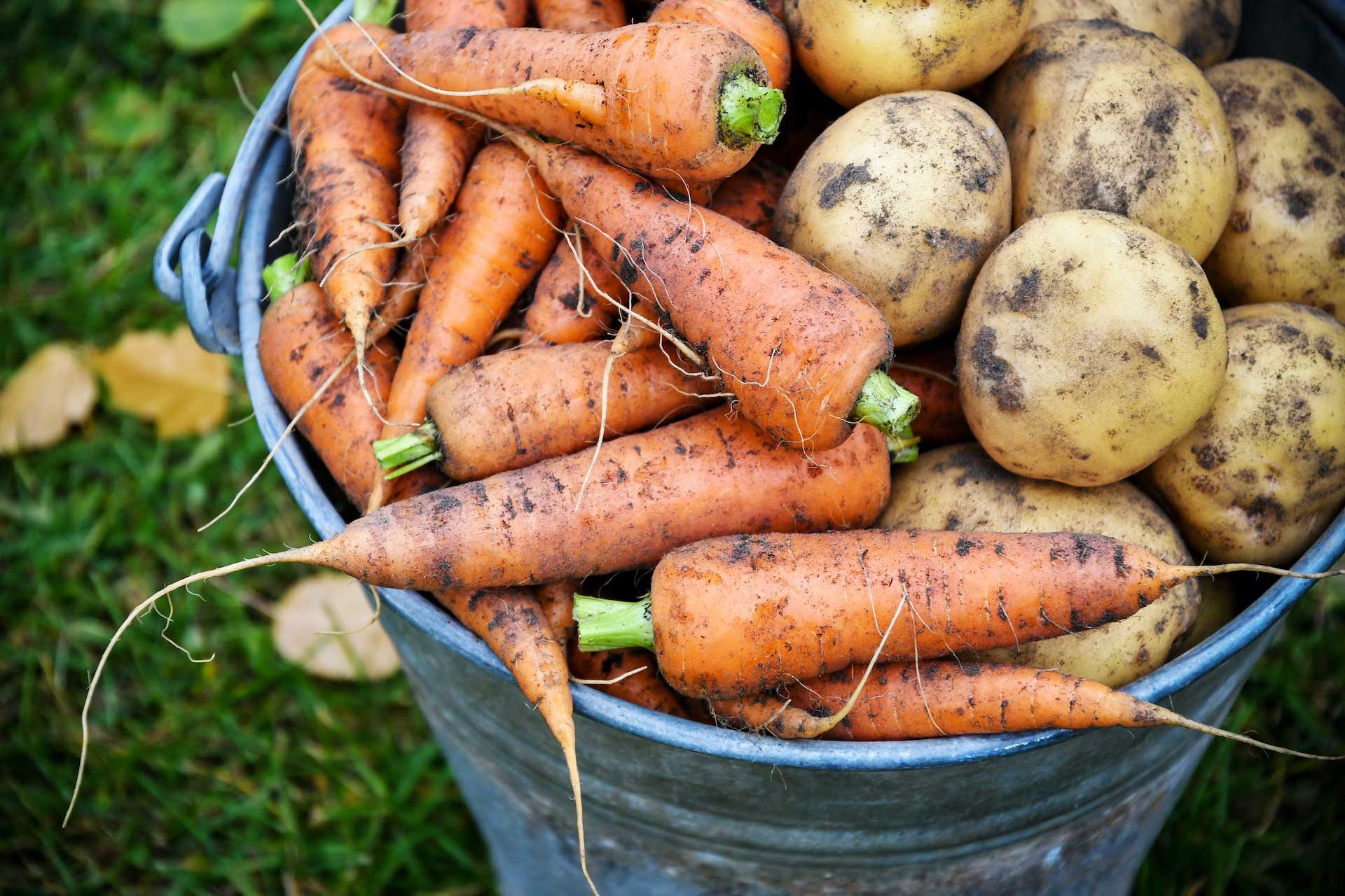 fresh carrot and potato harvest in a tin bucket.
