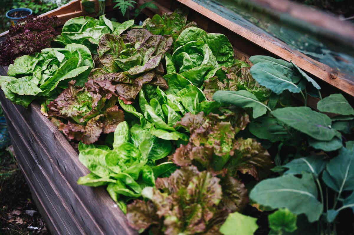 vegetables in an urban raised bed garden