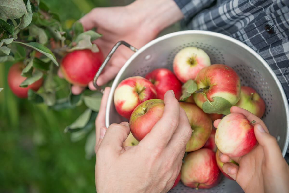 A family of three picking apples in a backyard garden.