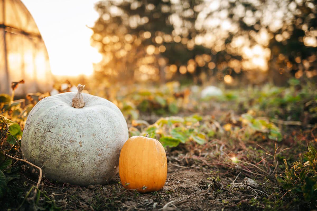 large white pumpkin and smaller orange pumpkin in a field.