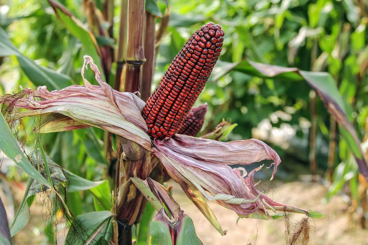 purple corn on the cob