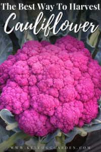 purple cauliflower in garden