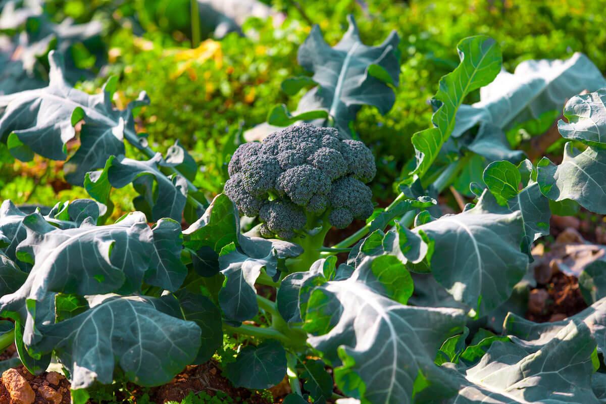 broccoli growing in a vegetable garden