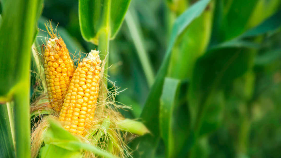 Ears of yellow corn on stalk